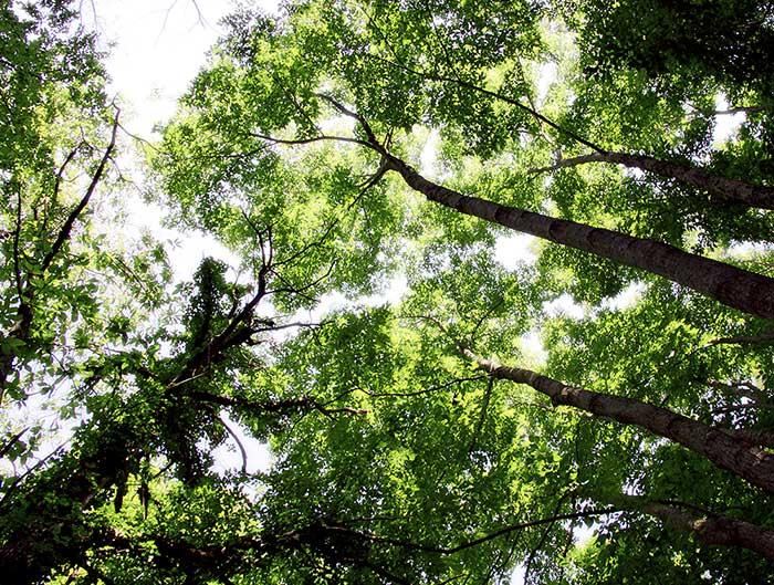 La fascia basale dei Monti Cimini, laddove non è intervenuto l'uomo con colture agrarie e lottizzazioni, è occupata dai querceti. Tali fitocenosi, distribuite prevalentemente nel settore occidentale del comprensorio, accolgono una grande varietà di specie appartenenti al genere Quercus.