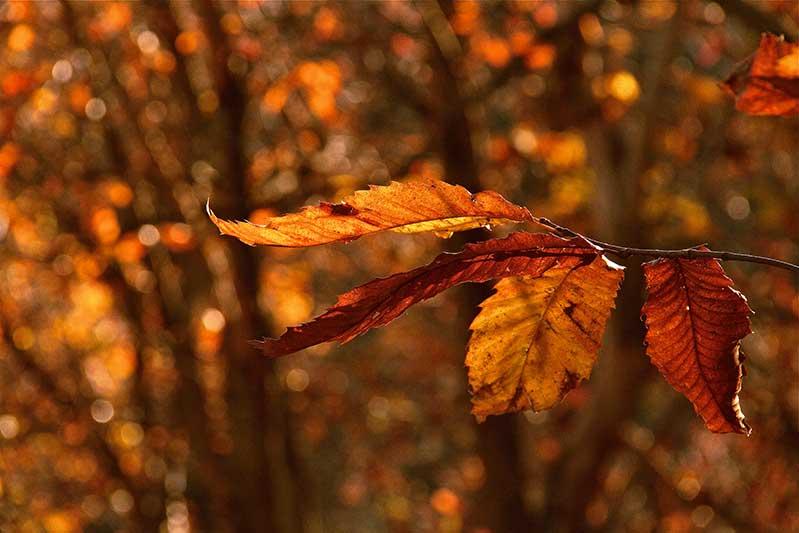 La specie arborea che maggiormente caratterizza il paesaggio vegetale dei Monti Cimini è senz'altro il castagno (Castanea sativa Miller.), distribuita in un intervallo altitudinale compreso tra i 550 e 950 m s.l.m.. La dominanza del castagno in un'area cosi estesa è chiaramente legata all'opera selettiva effettuata dall'uomo per fini produttivi, perché l'area di origine vulcanica ha generato una terra molto fertile per questo tipo di specie.