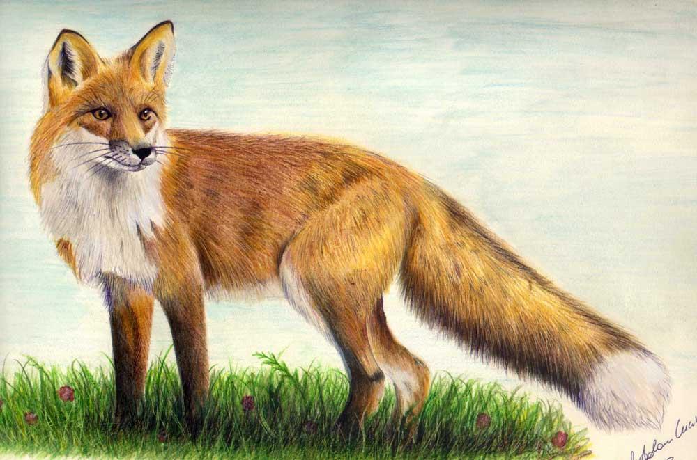 Fauna-Volpe
