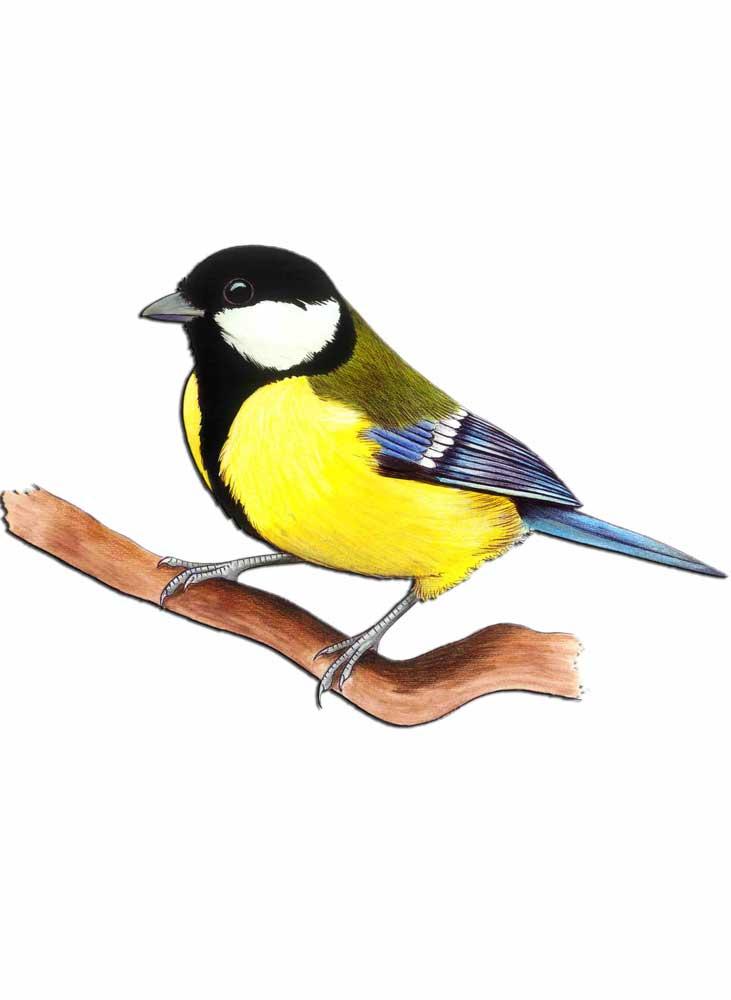 uccelli-cinciallegra