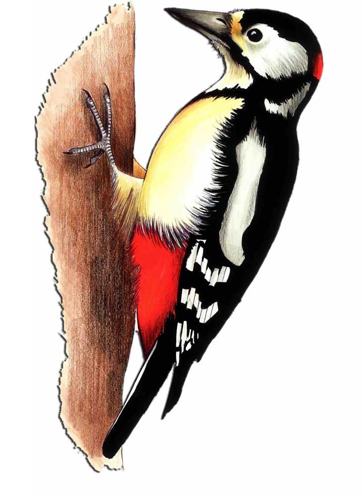 uccelli-picchio